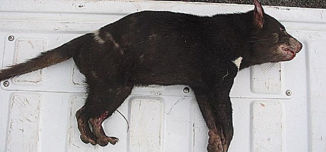 Tasmanian_devil_roadkill_found_March_2009_in_Victoria.JPG